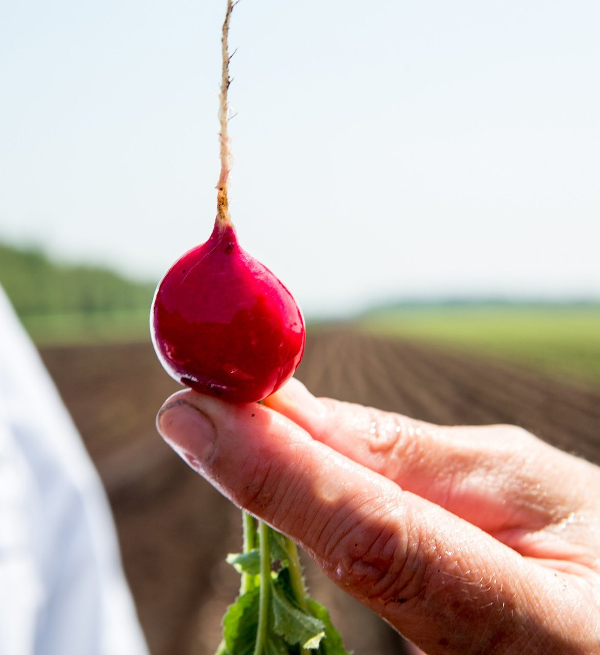 close-up of fingers holding a radish harvested from a field