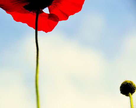 Concordia research harnesses the power of opium poppies