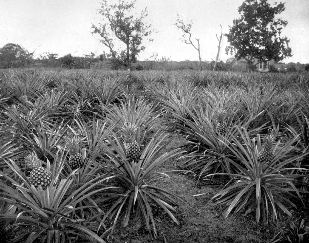 A black and white photograph of a pineapple grove in Jamaica.