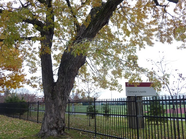 A maple tree on the Road of Remembrance