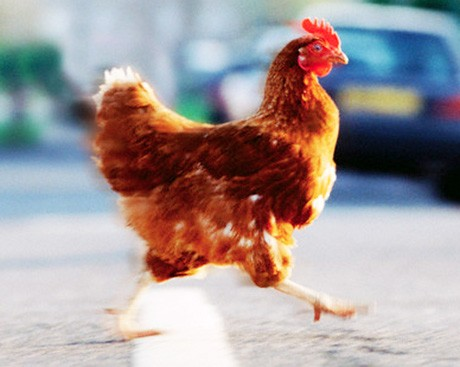 How did the chicken cross the road … safely?