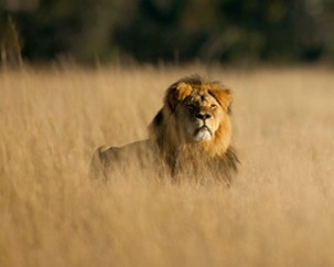 3 facts we didn't know about Cecil the lion