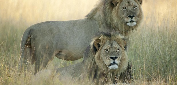 Cecil the lion, killed by Walter Palmer
