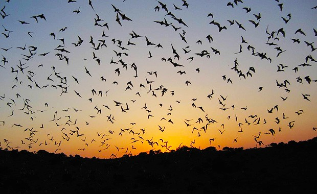 The research team analyzed 9,552 hours of bat-call recordings captured over 243 nights, from 15 monitoring sites in south-central Texas.