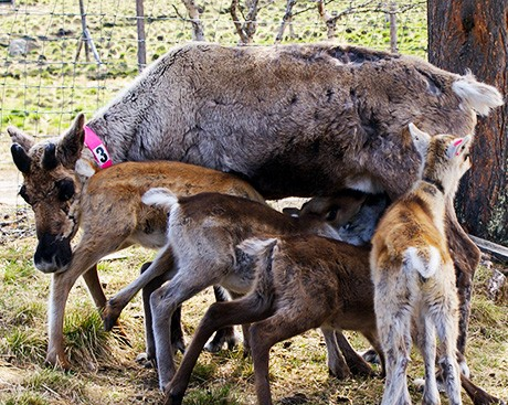 What motivates 'costly' milk sharing among reindeer?