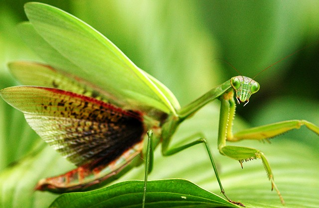 Praying mantis close-up | Courtesy of National Geographic