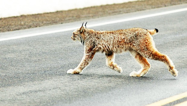 The highly endangered Iberian lynx are particularly at risk of road mortality. | Photo by Jeremiah John McBride (Flickr CC)