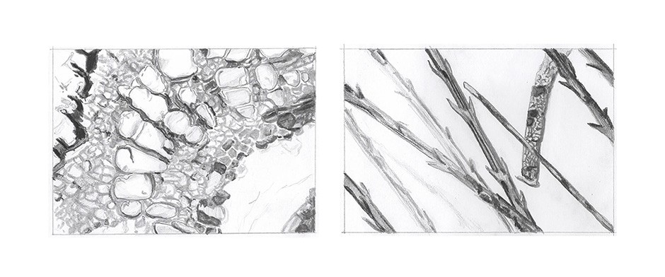 Bettina Forget, 2020, drawings of fern rhizome and dandelion pappus, graphite on paper