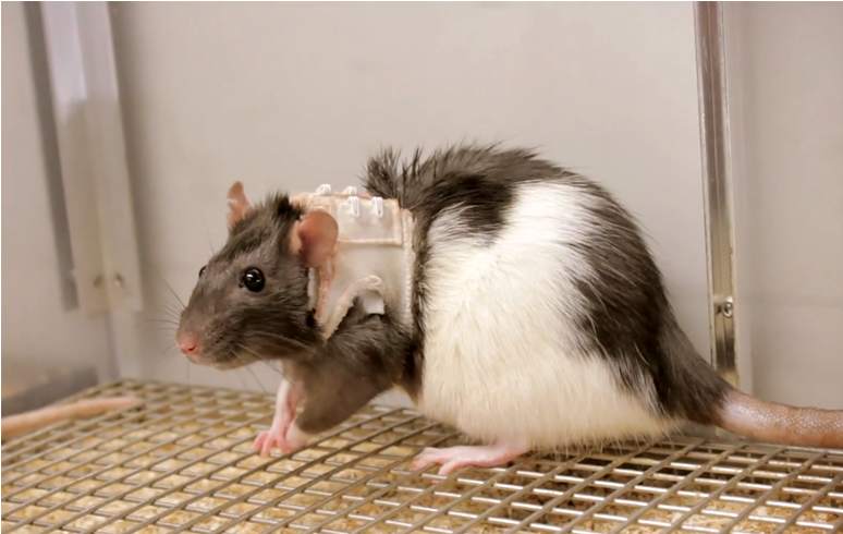 female rat with jacket