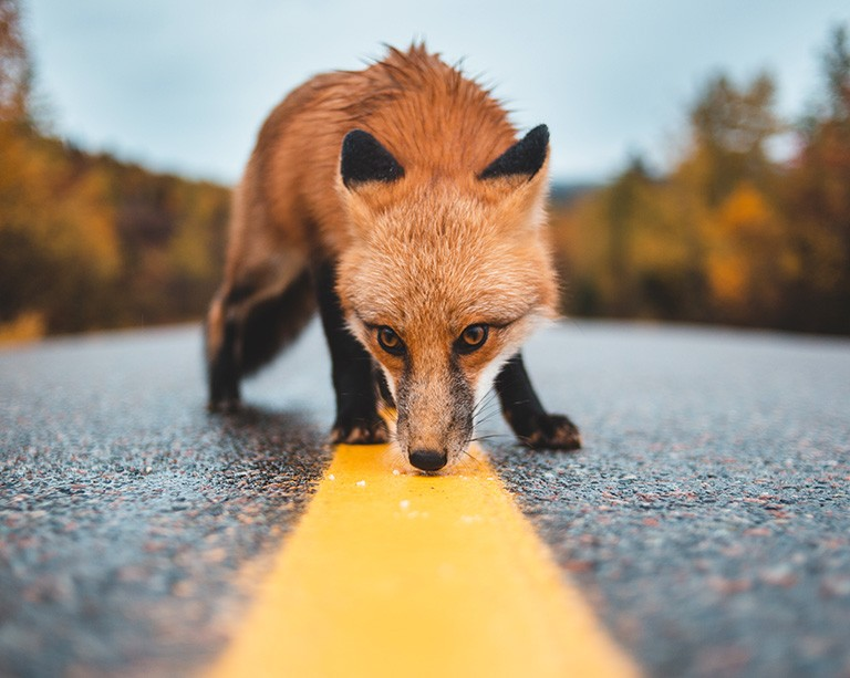 A new study looks at ways to cut roadkill numbers for small and medium-sized mammals