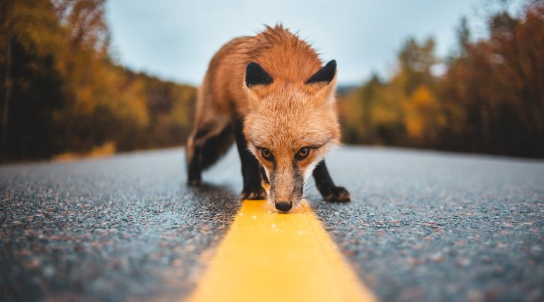 "Jochen Jaeger: ""Having connections across or under a highway is important, but we first should think about ways to reduce the number of animals getting killed on the road."" 